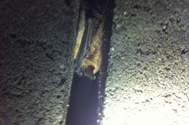 Nieuwe soorten gespot in vleermuizenverblijf Campine