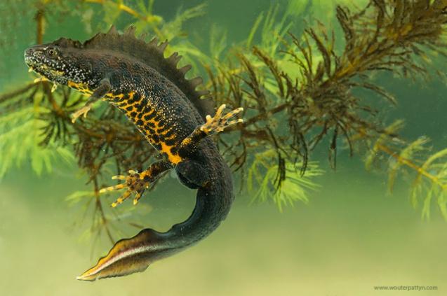 Vier nieuwe amfibieënpoelen bij NV Campine
